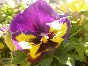 Bunga Pansy