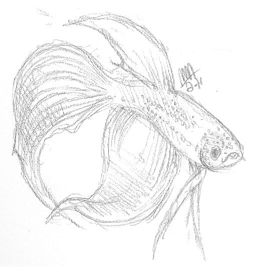 Betta Fish Drawing images