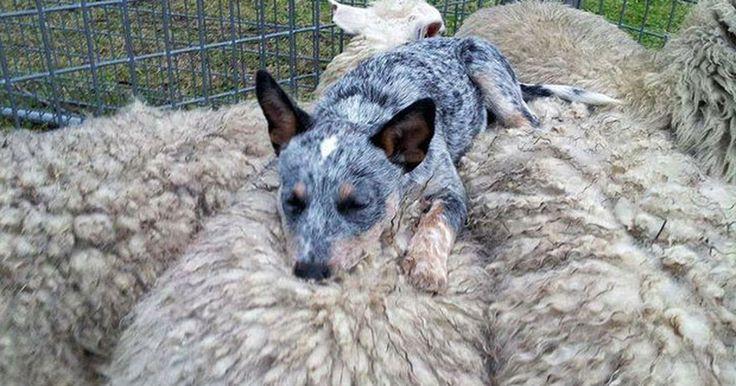 Cão folgado tira soneca deitado sobre rebanho de ovelhas