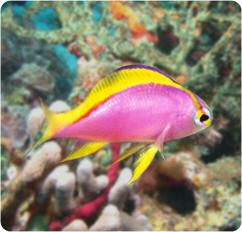 Unusual Pink Saltwater Fish | Buy Saltwater Fish for Reef and Marine Aquariums.