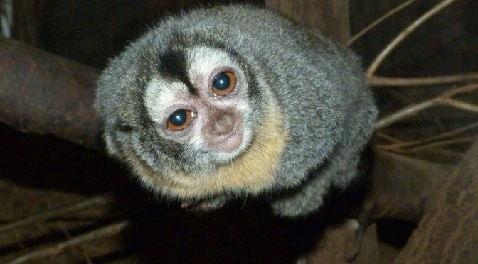 Douroucouli #zoo spaycific'zoo - spay - sarthe - le mans