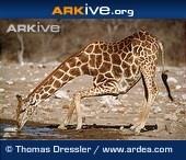 ARKive species - Giraffe (Giraffa camelopardalis)