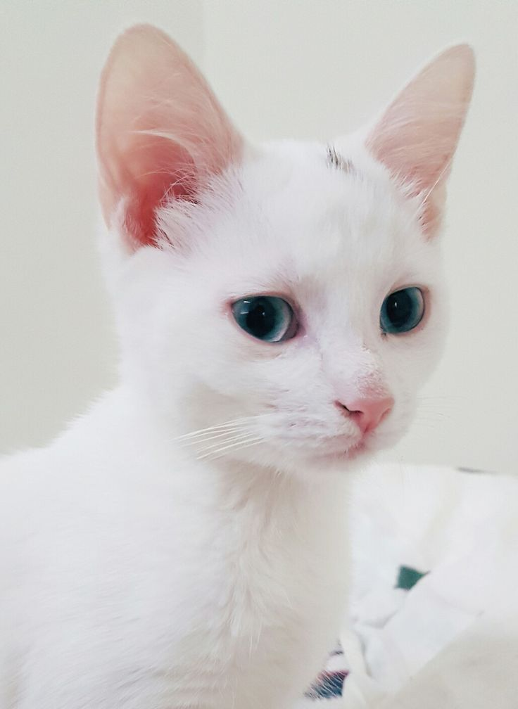 This cute little white furball of a kitten is deaf on both ears @maxeption on Instagram