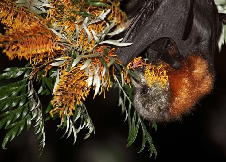 Adelaide Bat Care | Bat Assistance, Rescue and Care