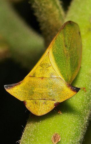 Flat-headed Leafhopper (Tituria sp., Ledrinae, Cicadellidae)