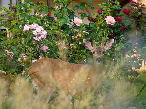 17 Best Images About Deer Resistant Flowers On Pinterest