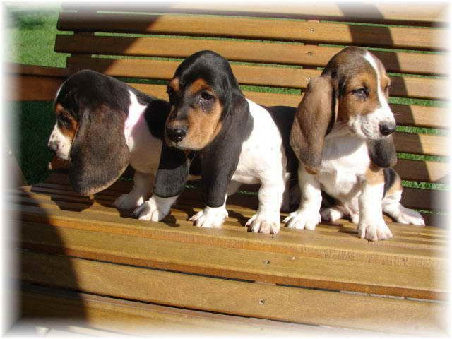Basset Hound Breeders In Michigan The Loyal Pets Pinterest