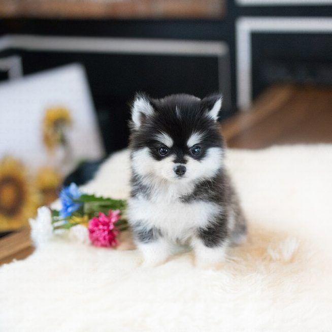 Happy Teacup Pomsky For Sale Tiny Teacup Pups In 2020 Teacup Puppies Pomeranian Puppy Teacup Tiny Puppies
