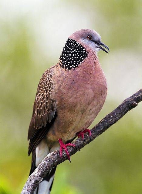 手机壳定制air jordan cp Spotted Dove