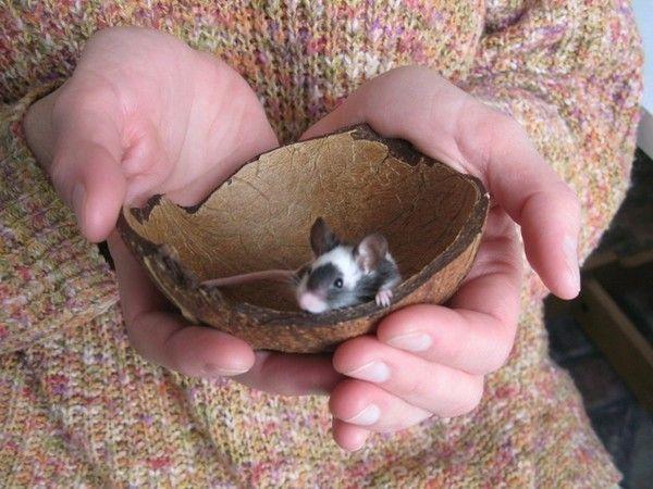Мышки – грызуны всеядные, в дикой природе они не брезгуют ни чем, грызут все подряд, могут и огарок свечи скушать за милую душу. Но при содержании мышей в неволе, необходимо придерживаться определенных правил кормления, чтобы мышь была жива-здорова и долго радовала нас своими талантами. Главное правило – еда должна быть разнообразной и сбалансированной.  Кормят мышей, сочетая различные сухие и сочные корма. Из сухих растительных кормов предпочтительны семена культурных и дикорастущих…