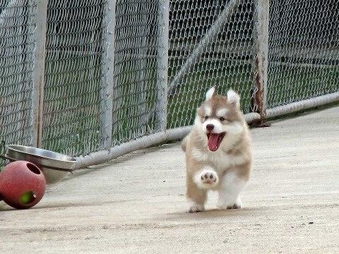 "say ""hi"" #siberian #dog"