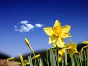 23 Beautiful Spring Wallpapers for Your Dekstop: Yellow Daffodil by HD Wallpapers
