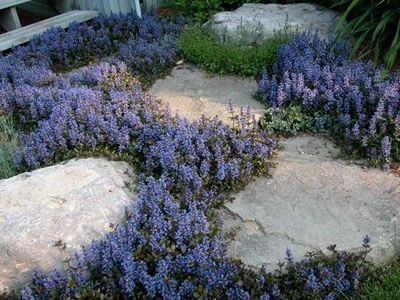"Ajuga reptans 'Chocolate Chip' - Chocolate Chip Bugleweed - 18 Count Flat - 4"" Pots - Perennials for Groundcover or Crevices"