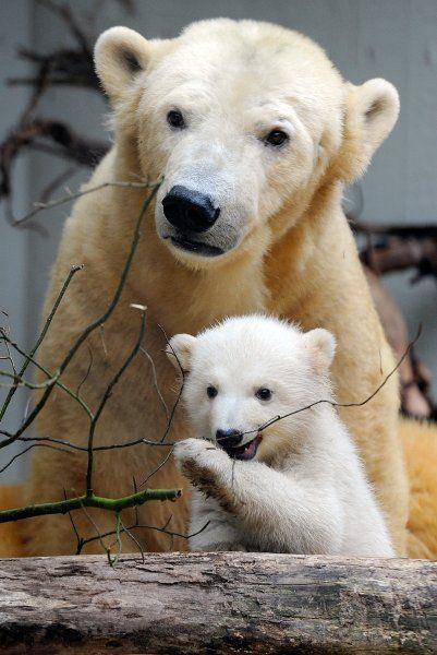 ~~Polar Bear Cub Anori makes her debut at the zoo in Germany, accompanied by her mother, Vilma ~~