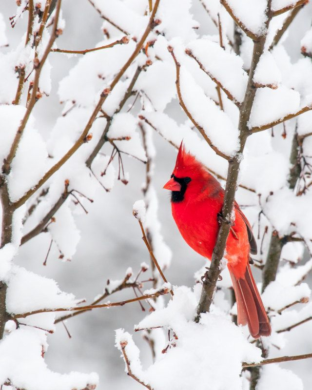 Red cardinal bird photo winter christmas scene white snow - Pictures of cardinals in snow ...