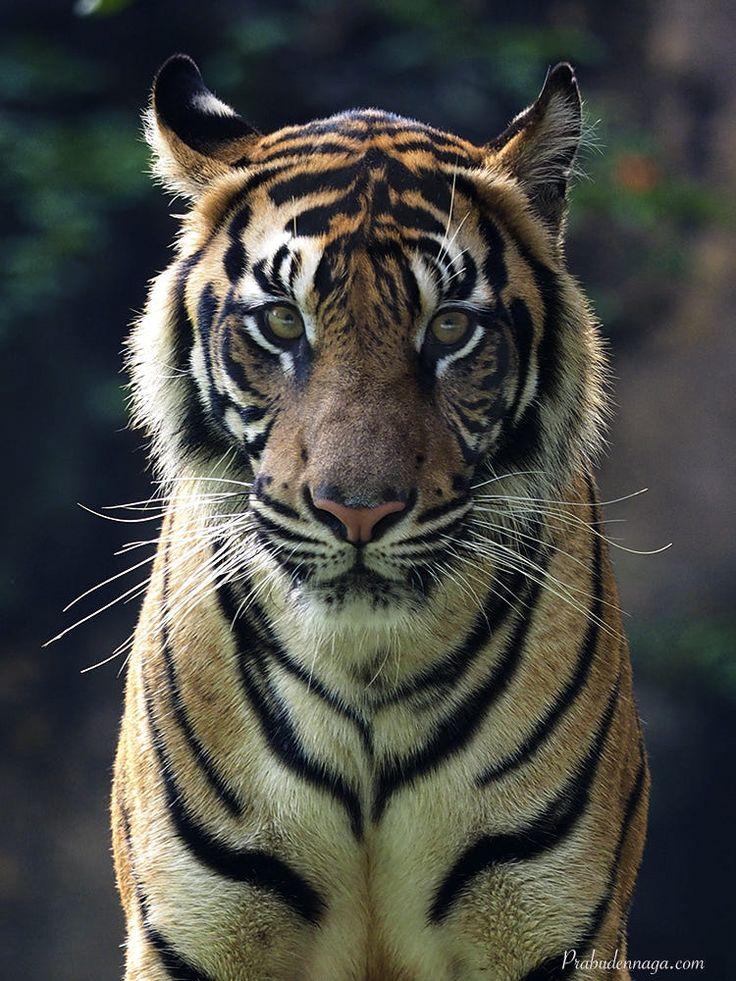 Картинки на аву вконтакте тигров