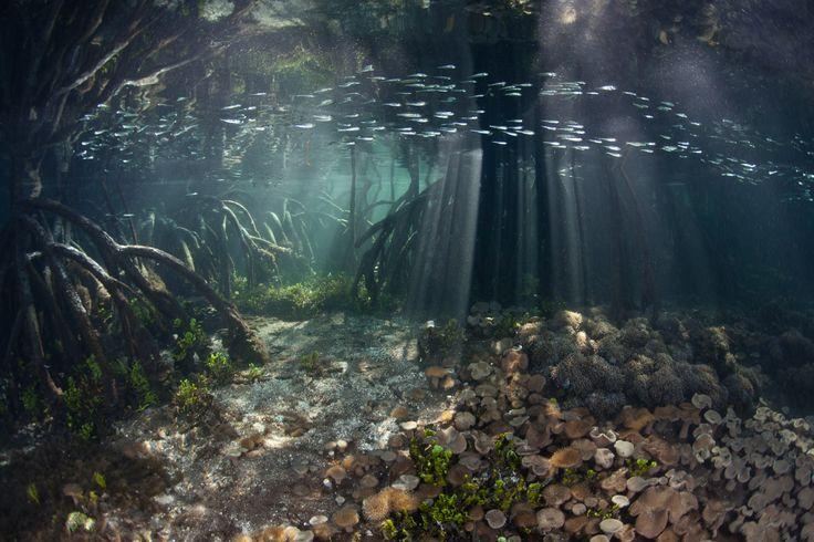 underwater mangrove - Google zoeken