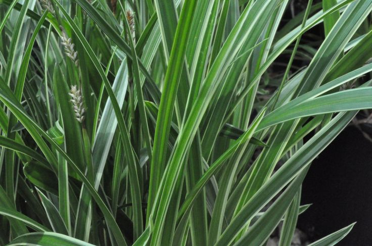 Carex morrowii ice dance common name ice dance sedge for Full sun ornamental grass