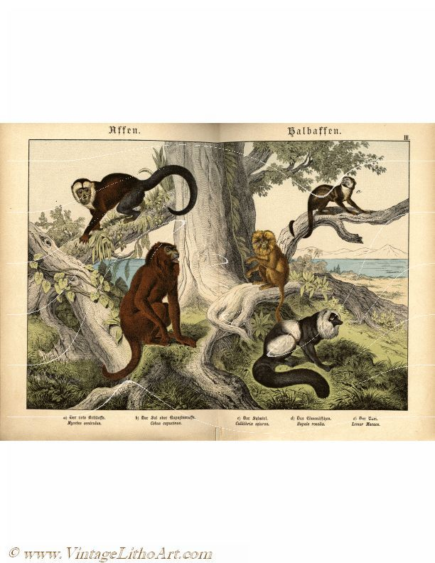 Antique Natural History Animal Print - Apes - Red Howler Monkey, White-Headed Capuchin, Squirrel Monkey & Lemur - Plate III is a vintage chromolithograph for sale as an instant digital download or buy the original