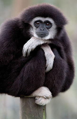 Gibbon, Just Sitting by Taraji Blue, via Flickr