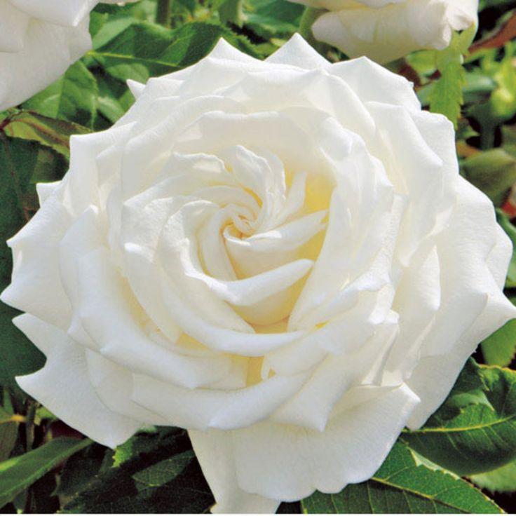 pope john paul ii hybrid tea rose gardens and gardening hybrid rh pinterest com Paul Rose Flq Earl Paul Rose