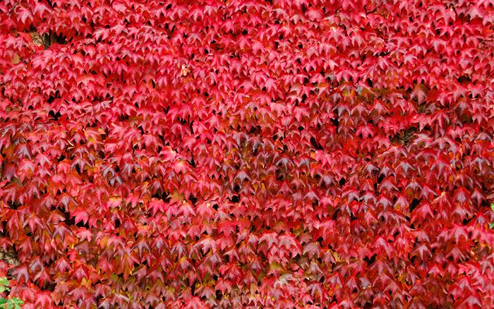 Virginia creeper - TV Gardener David Domoney chooses the best climbers for shade. Cover a shady wall or fence with these hardy climbing plants.