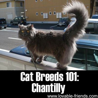 Please Share This Page: Cat Breeds 101: Chantilly – Image To Repin / SharePhoto – Wikipedia – lic. under CC 3.0 The Chantilly cat (aka. Tiffany) is claimed to be almost entirely similar to the Burmese but has long hair. [1] This cat was first recognized in 1969 and was officially named the Tiffany. However, …