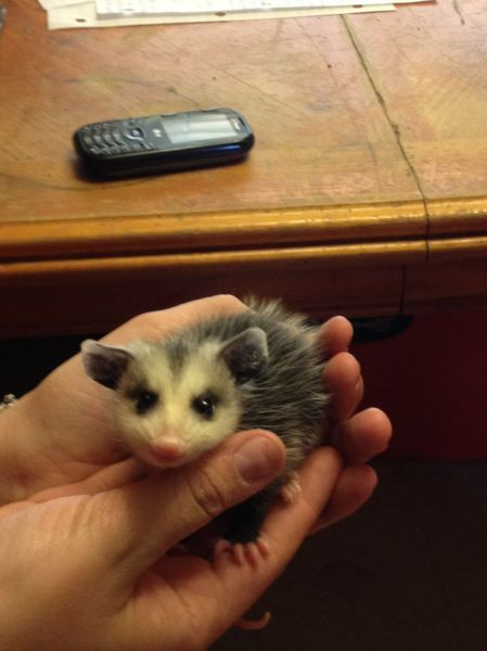 Wow, even the ugliest animal is cute when a baby. What a cute Opossum.