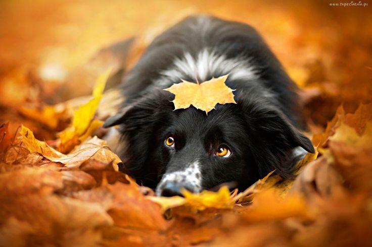 Pies, Jesień, Liście