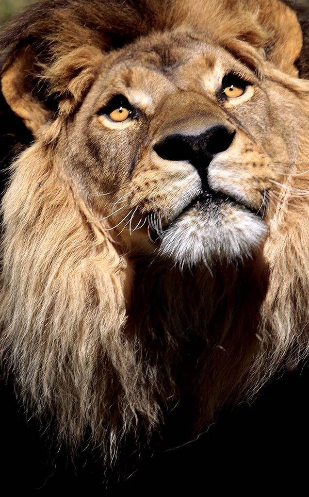 Lion at Taronga Western Plains Zoo,Dubbo,NSW. Australia