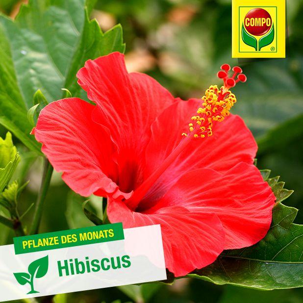 Unsere Pflanze des Monats April: der Hibiscus oder auch Roseneibisch. Von März bis Oktober blüht er prächtig, sofern er ein helles Plätzchen hat. Im Sommer könnt ihr ihn auch gern nach draußen stellen, dort sollte er allerdings vor direktem Wind und Regen geschützt werden. Mehr zum Hibiscus erfahrt ihr hier: https://www.compo.de/de/de/pflanzenratgeber/pflanzen/hibiscus.html
