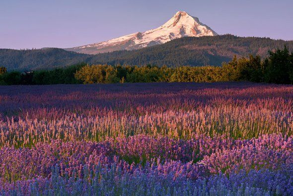 Lavender Valley Farm, Hood River, OR located 1/4-mile south of Hood River airport, open Memorial Weekend-Labor Day. http://courseweb.stthomas.edu/mjodonnell/cojo258/fruitloop/lavenderlocation.html
