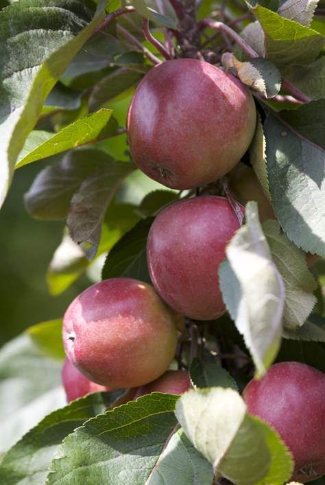 Beskärning av äppelträd | Blomsterlandet.se