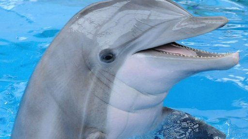 Dolphins are probably the most recognized and most admired marine mammal, often found in movies, paintings, figurines and more. While scientists only started learning about dolphins in the 1940s, studies have provided interesting information about the lives and habitats of this amazing animal. To find out more go to http://www.wildanimals.org.uk/dolphins/