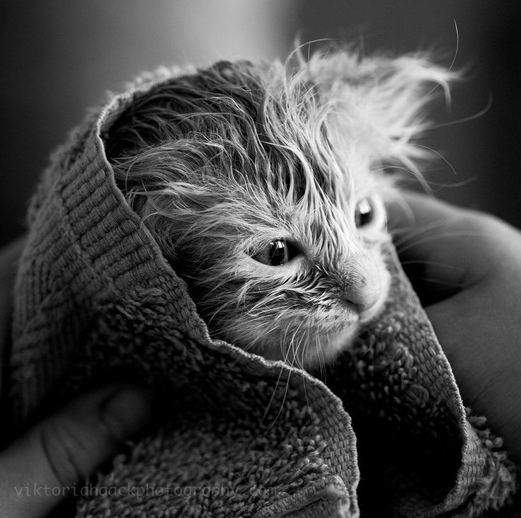 """Oh I'm already planning revenge Ms. """"aw don't you look cute towel dried?!!"""": Cat Photography, White Photography, Black And White, Pet, Kittens, Viktoria Haack, Animal, Wet Kitty, Bath Time"""