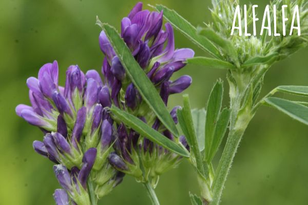 Propiedades del Alfalfa
