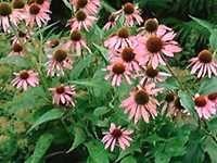 Echinacea purpurea. Zonnehoed. In de volle zon, maar werkt goed op kleigrond.