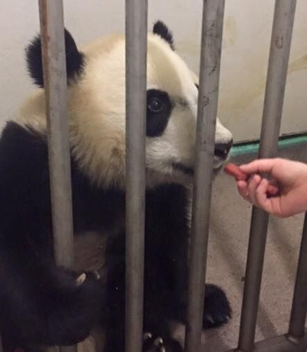 Bei Bei is eating four biscuits and cooked sweet potatoes with medications after recovering from surgery. (Courtesy of the National Zoo)