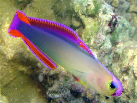 Purple fire fish for the salt water aquarium