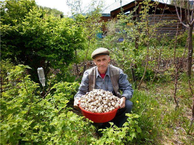 Выращивание мицелия гриба Веселки на питательных средах.  ФОРУМ