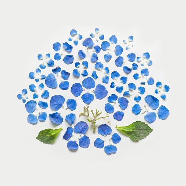 Exploded Flowers, by Qi Wei via http://anthologymag.com/blog3/2012/05/01/exploding-flowers/Blue Hydrangea, Qiwei, Fong Qi, Flower Art, Qi Wei, Flower Photos, Exploding Flower, Blue Flower, Flower Photography