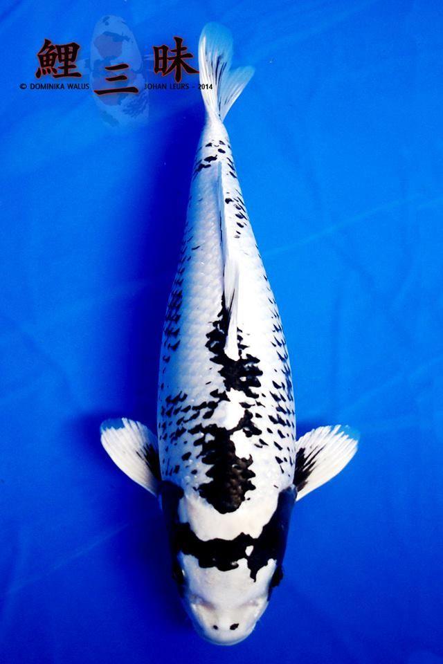 Wagoi kikokuryu koi pinterest photos for Koi fish culture