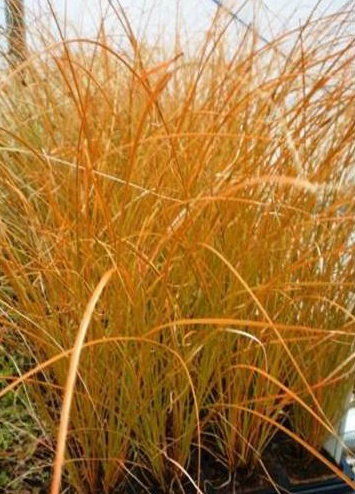Orange Sedge Ornamental Grass 13 best go bold with ornamental grasses images on pinterest orange sedge grass thinking about some of this for my court yard workwithnaturefo