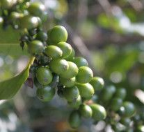 Why to use Green Coffee Bean Extract and its Benefits