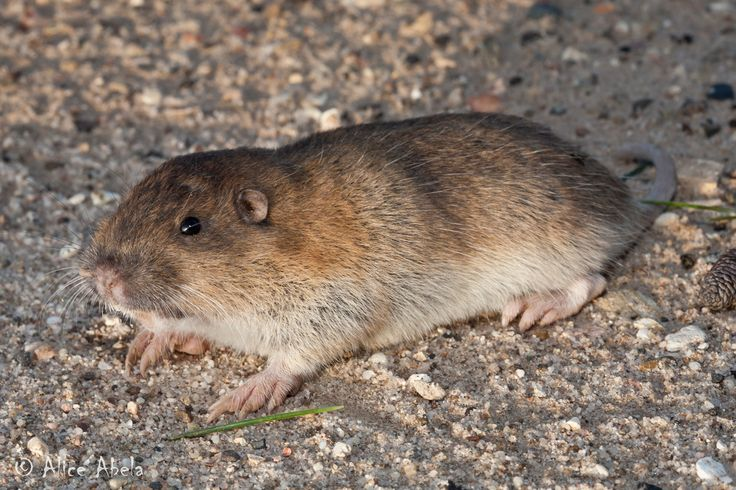 pocket gopher - Google Search