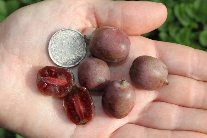 Kiwi Seeds ★ GRAPE KIWI ★ Rare Baby Kiwifruit, Red Flesh ★ GMO FREE ★ 25 Seeds ★
