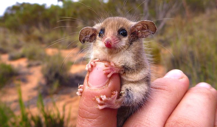 A face anyone could love: the western pygmy possum. (Credit: Amanda McLean)