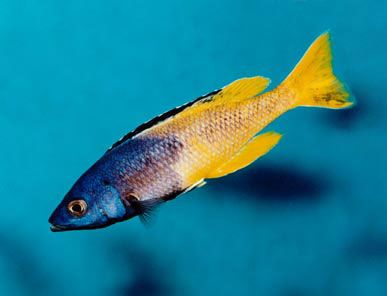 ... Cichlids on Pinterest Cichlids, Malawi Cichlids and Cichlid Fish