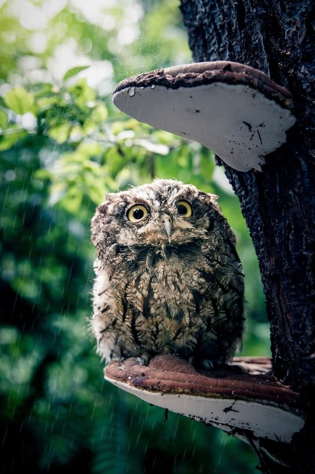 •  Western Screech owl in the rain •