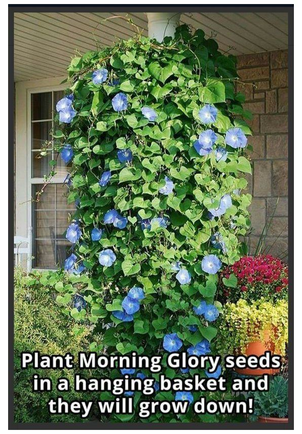 Growing Morning Glories How To Grow Morning Glory Flowers Morning Glory Flowers Are A Common Sight In Many Landsc In 2020 Morning Glory Flowers Backyard Garden Plants